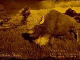 Legendary Tatanka Bison