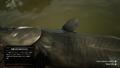 RDR2 - Channel Catfish 02