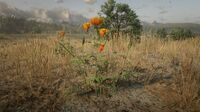 Prairie Poppy west of Blackwater