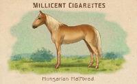 Horses Card Hungarian Halfbred