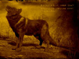 Legendary Onyx Wolf