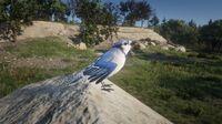 Blue Jay near Horseshoe Overlook
