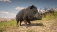 Collared Peccary Pig off-bounds