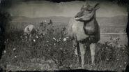 Antilope femelle d'Amérique