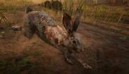 Lièvre de Californie (lapin)05