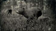 Ours noir américain