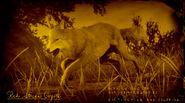 Coyote rubigineux légendaire