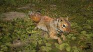 Écureuil roux d'Amérique05