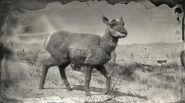 Antilope femelle de Sonora