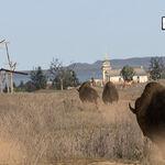 Bison01.jpg