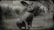 Lièvre de Californie (lapin)