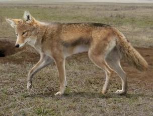 Canis priscolatrans