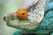 Camaleón de Parson