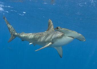 Tiburón Martillo Gigante Wiki Reino Animalia Fandom