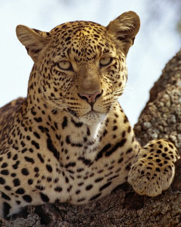 Leopardo Wiki Reino Animalia Fandom