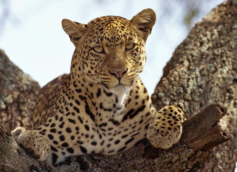 pistola Doméstico arpón  Leopardo | Wiki Reino Animalia | Fandom