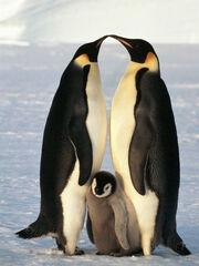 Wmf pinguinos emperador640.jpg