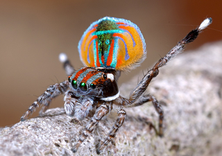 Araña Pavo Real