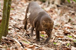 Jaguarundí 2.png