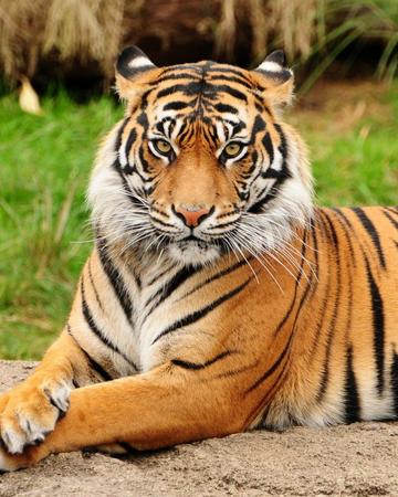 Tigre Wiki Reino Animalia Fandom