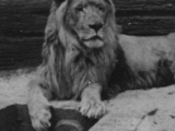 León del Cabo