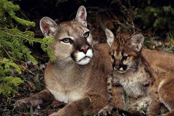 He reconocido Día del Maestro lineal  Puma | Wiki Reino Animalia | Fandom