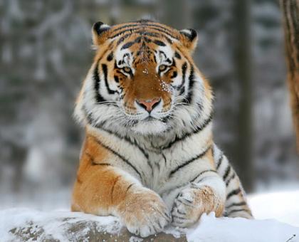 Tigre Siberiano Wiki Reino Animalia Fandom