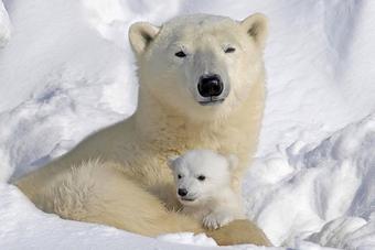 Oso Polar Wiki Reino Animalia Fandom