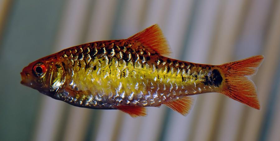 Barbo Dorado