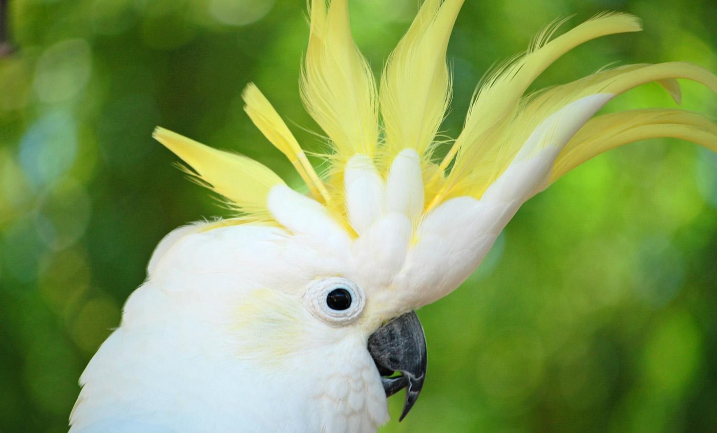 Cacatúa de Cresta amarilla