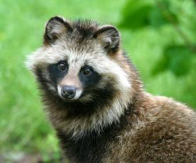 Perro mapache.png