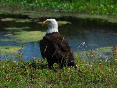 Aguila calva3.jpg