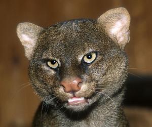 Jaguarundí 1.png