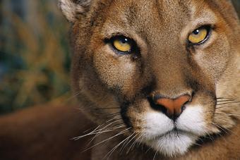 proteger Artesano Complaciente  Puma | Wiki Reino Animalia | Fandom