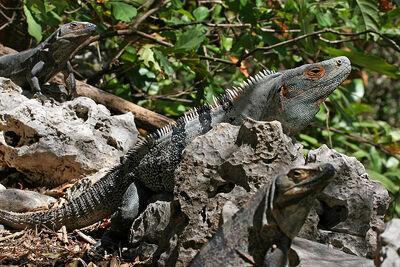 800px-CtenosauraSimilis.jpg