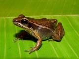 Peruvian Poison Frog