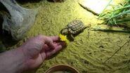 Homopus signatus eating dandelion