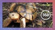 Ploughshare Tortoise - One of the Rarest Tortoises in the World (in 360 5K)
