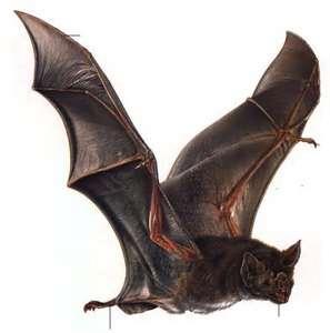 Desmodus Draculae.png
