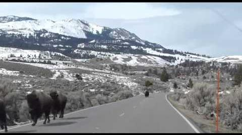 Animals_Fleeing_From_Yellowstone_Supervolcano?