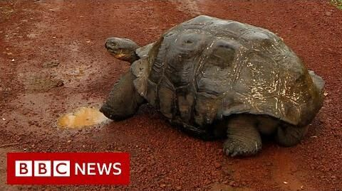 Diego,_the_Galápagos_tortoise_with_a_species-saving_sex_drive,_retires_-_BBC_News