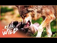 Wolves- Hunting In Packs (Wildlife Documentary) - Wild About - Real Wild