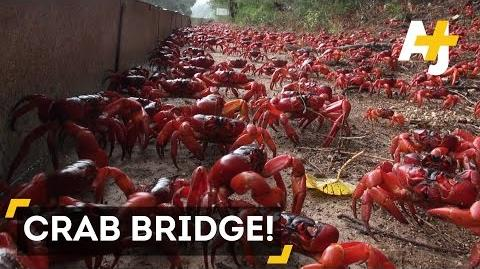 Christmas Island red crabs