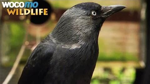 Ravens_and_crows_-_the_most_intelligent_birds_in_the_world_(animal_documentary_in_HD)