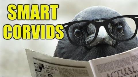 Intelligent_Birds_-_Smart_Things_I've_Witnessed_Members_of_The_Corvid_Family_Doing