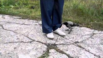 Crow_unties_the_laces_and_tries_to_steal_the_pan_(Хитрая_ворона_и_сковородка)
