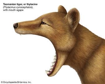 Jaw-thylacine-gape.jpg