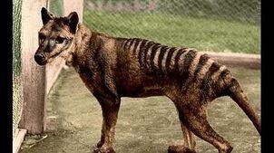 Tasmanian_tiger_Thylacine_not_extinct?