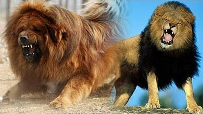 Chinese_zoo_tries_to_pass_off_dog_as_'African_Lion'