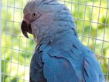 Spix's Macaw